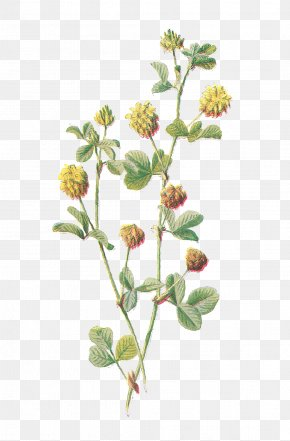 Lantana Flower Cliparts - Botany Flower Botanical Illustration Clip Art PNG