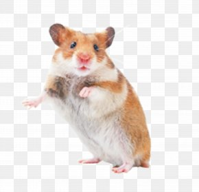 Pet Rat - Hamster Rat Mouse Rodent Pet PNG