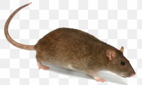 Rat Transparent Image - Brown Rat Rodent Mouse Trapping PNG