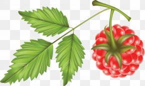 Rraspberry Image - Raspberry Euclidean Vector Fruit Clip Art PNG
