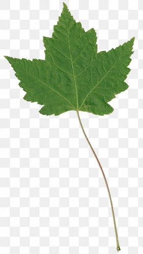 Leaf - Plane Trees Leaf Plant Stem Plane Tree Family PNG