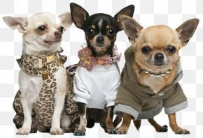 Puppy - Chihuahua Puppy Rat Terrier Dog Breed PNG