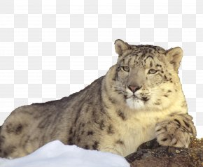 Snowy Mountains Lying On The Lazy Snow Leopard - The Snow Leopard Lion Cat PNG