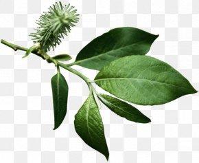 Leaf - Branch Leaf Tree Green PNG