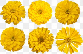 Flower - Cut Flowers Mexican Marigold Photograph English Marigold PNG