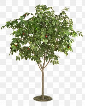 Fruit Tree - Berry Fruit Tree Plant Cherry PNG