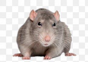 Mouse, Rat Image - Brown Rat Black Rat Mouse Rodent Polynesian Rat PNG
