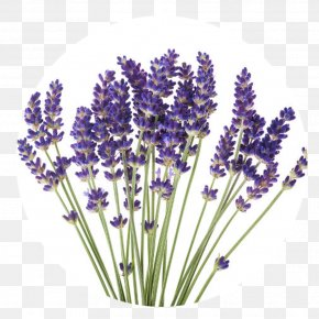 Flower - English Lavender Stock Photography Flower Plant French Lavender PNG