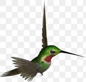 Hummingbird - Hummingbird Beak Feather Wing Fauna PNG