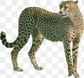 Cheetah - Cheetah Ghepardo English Language Cat Leopard PNG