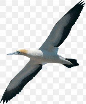 Bird - Bird Migration Beak Northern Gannet White Stork PNG