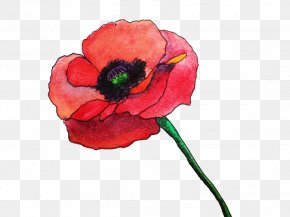 Watercolor Rose - Common Poppy Flower Watercolor Painting Remembrance Poppy PNG