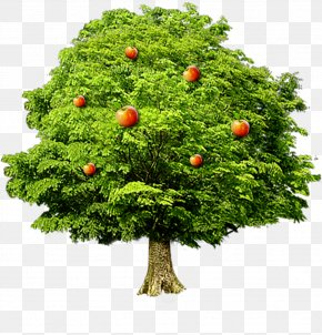 Apple Tree - Fruit Tree Computer File PNG