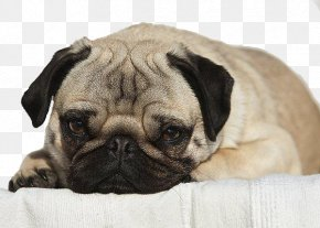 Pug Puppy Looking At The Camera Portrait - Pug Puppy Dog Breed Companion Dog Toy Dog PNG