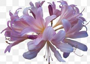 Lily HD - Thailand Perfume Fashion Eau De Toilette Fragrance Oil PNG