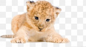Lion - White Lion Tiger Desktop Wallpaper Cat PNG