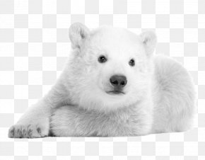 Polar Bear Pictures - Polar Bear Hokkaido Dog Kishu Samoyed Dog Korean Jindo PNG