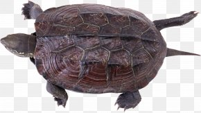 Turtle - Chinese Softshell Turtle Trionychidae Reptile Chinese Pond Turtle PNG