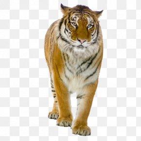 Tiger - Tiger Lion Felidae Clip Art PNG