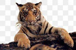 Lion - Felidae Bengal Tiger Lion Cat PNG