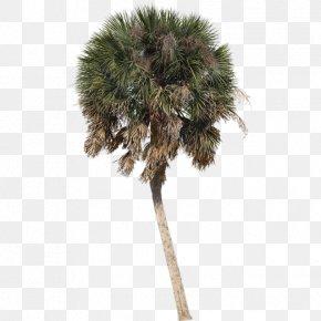 Tree - Asian Palmyra Palm Arecaceae Tree Sabal Palm Shade PNG