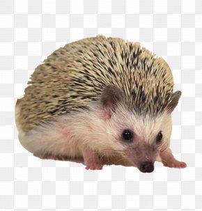 Hedgehog - Sonic The Hedgehog European Hedgehog Hamster Porcupine Pet PNG