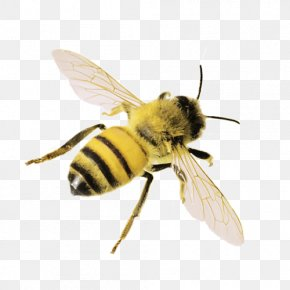 Honey Bee - Western Honey Bee Insect Bumblebee PNG