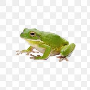 Frog - Frog Amphibian Tadpole PNG