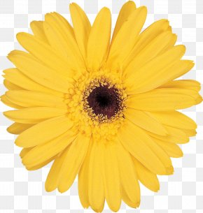 Flower - Stock Photography Flower Yellow Transvaal Daisy Clip Art PNG