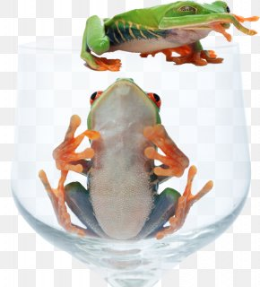 Glass Frog - Red-eyed Tree Frog Animal PNG