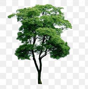 Plant Eucalyptus Picture Material - Eucalyptus Globulus Tree Plant PNG