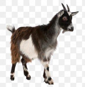 Sheep - Toggenburg Goat Pygmy Goat Sheep Stock Photography Livestock PNG