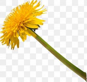 Dandelion - Common Dandelion Stock Photography Clip Art PNG