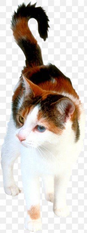 Kitten - Kitten Himalayan Cat Turkish Angora Siamese Cat Van Cat PNG
