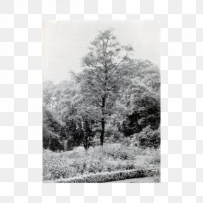 Italian Coffee Tree - Monochrome Photography Tree Forest PNG