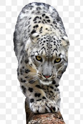 Go To The Snow Leopard - Snow Leopard Lion Cheetah Tiger PNG
