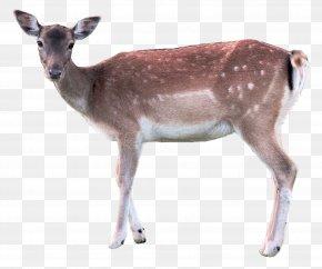 Deer - Deer Axis PNG