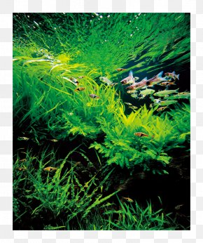 Fish - Aquariums Nature Aquarium World Aquascaping Plants For Your Aquarium PNG