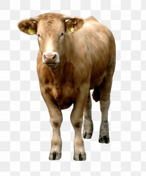 Brown Cow Image - Beef Cattle Livestock PNG
