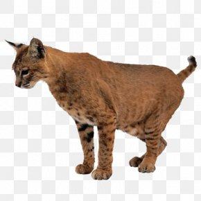 Leopard - Lion Leopard Tiger Lynx Cat PNG