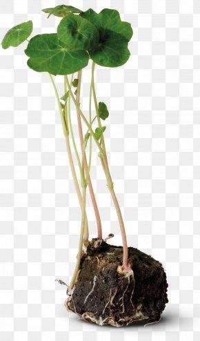 Plant - Moss Tropaeolum Majus Plant Stem Root Bedding PNG