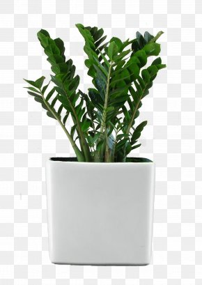 Potted Plant - Ficus Retusa Houseplant Flower Garden PNG