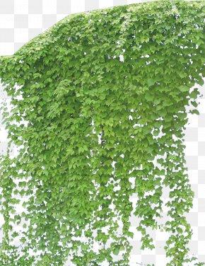 Creeper - Vine Plant PNG