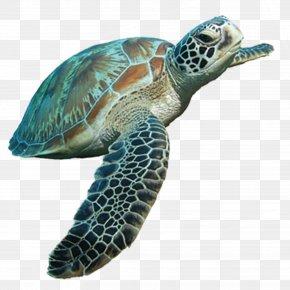 Sea Turtle - Loggerhead Sea Turtle Tortoise PNG