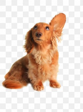 Dog Drooping Ears - Dachshund Pet Sitting Dog Grooming Listening PNG