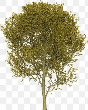 Utility - Plane Trees Shrub Plane Tree Family PNG
