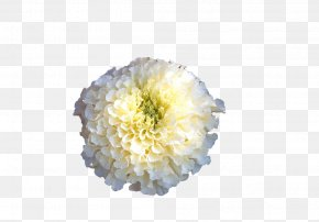 White Marigold - Mexican Marigold Calendula Officinalis Flower PNG