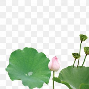 Lotus - Nelumbo Nucifera Green Leaf Petal Plant Stem PNG