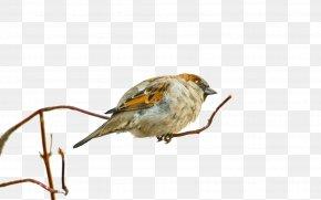 A Sparrow - Bird Eurasian Tree Sparrow Desktop Environment Wallpaper PNG