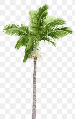 Coconut - Arecaceae Stock Photography Palm Branch Coconut PNG